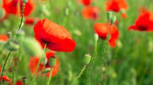 pamela Bartlett Alexander Technique - Poppies in a field
